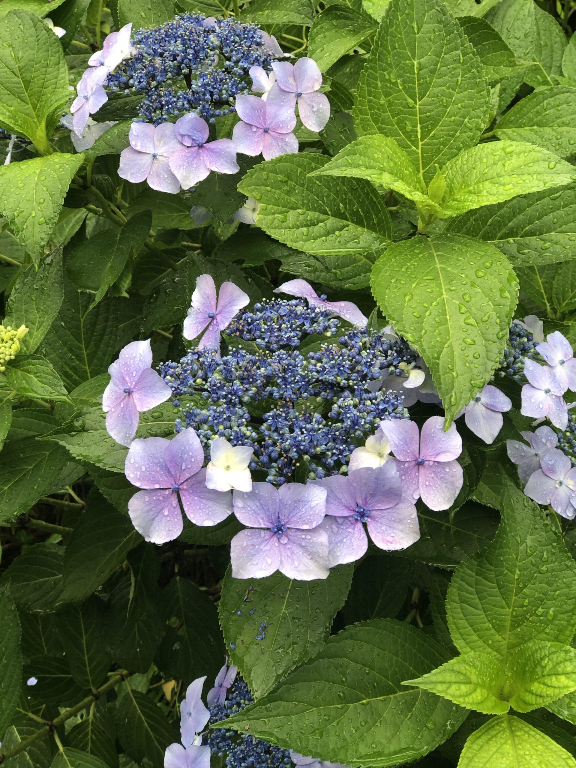 レストデイの紫陽花